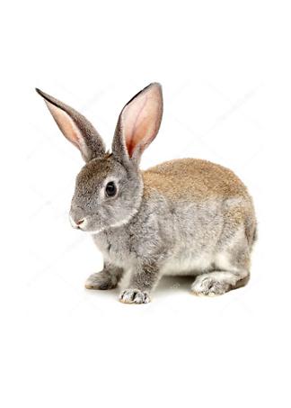 Постер Кролик лопоухий  - фото