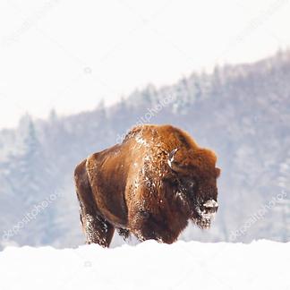 Бизон в Европе