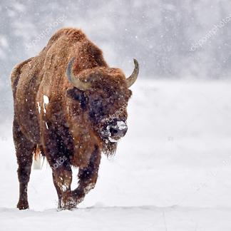 Бизон зимой