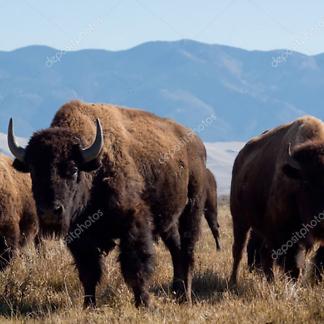 Бизоны на ранчо