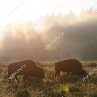Бизоны в лучах солнца
