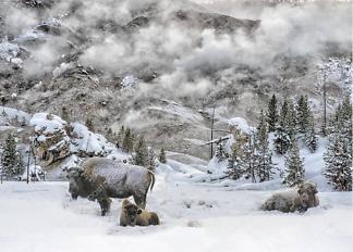 Постер Бизоны зимой  - фото