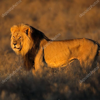 Постер Большой африканский лев