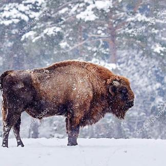 Большой бизон