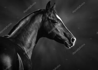 Постер Черная арабская лошадь  - фото