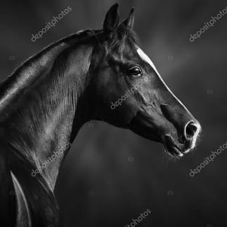 Постер Черная арабская лошадь