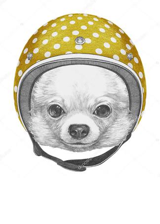 Постер Чихуахуа в шлеме  - фото