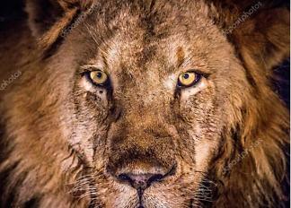 Постер Фото льва  - фото