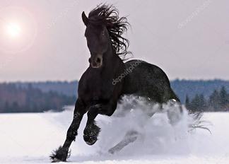 Постер Фризская лошадь  - фото