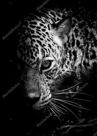 Постер Леопард в темноте  - фото