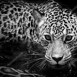 Постер Леопард в засаде