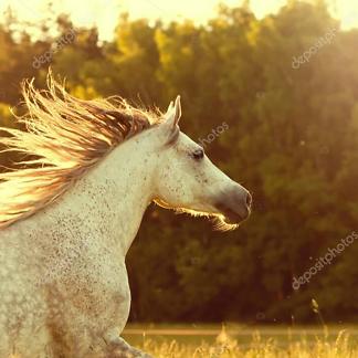 Постер Красивая белая лошадь