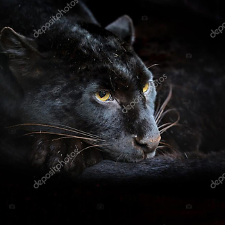 Пантера притаилась