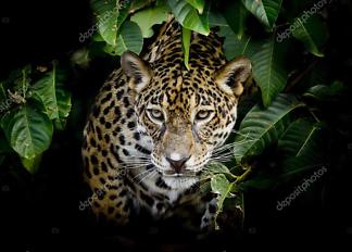 Портрет Леопарда  - фото