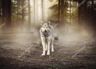 Постер Серый волк  - фото