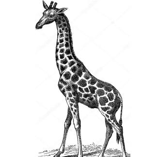 Винтажное изображение жирафа