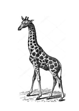 Постер Винтажное изображение жирафа  - фото