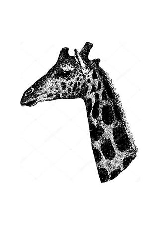 Постер Винтажный портрет жирафа  - фото