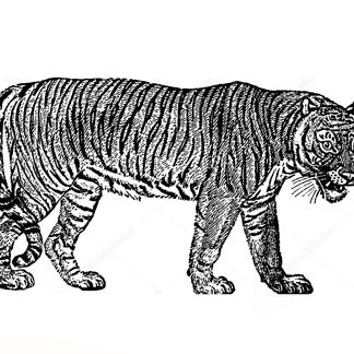 Винтажный тигр