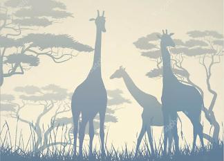 Постер Жирафы в дикой природе  - фото