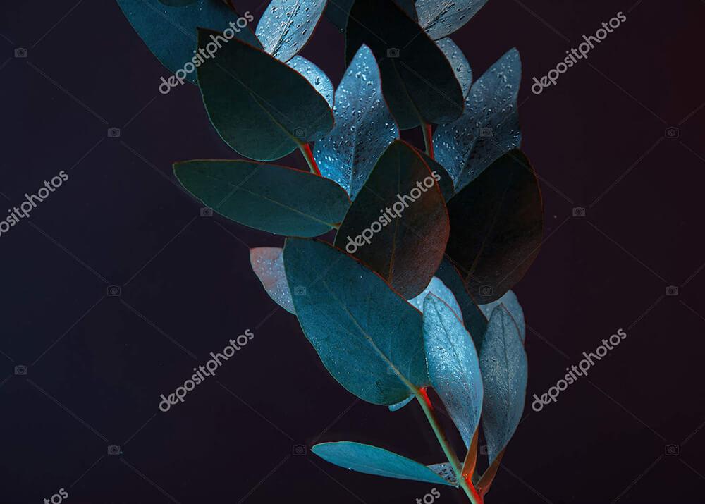 Постер ветвь эвкалипта  - фото