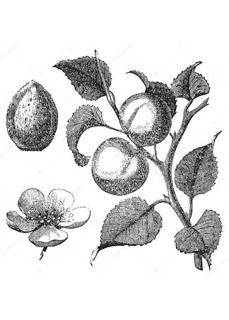 Постер гравюра цветок абрикоса  - фото