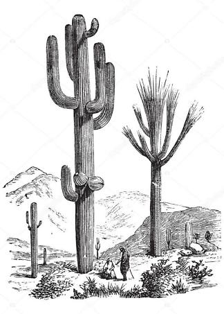 Постер кактус Carnegia gigantea  - фото